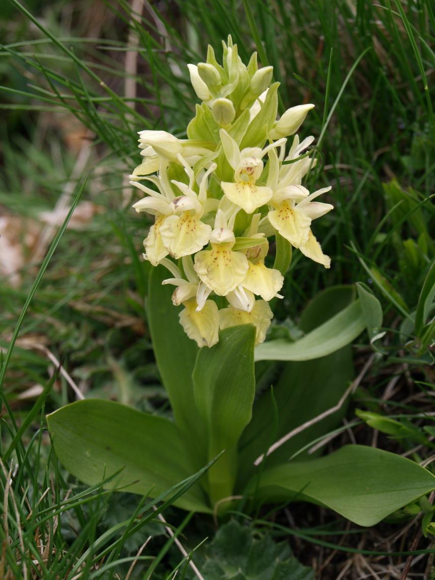 Antola for Orchidea foglie gialle